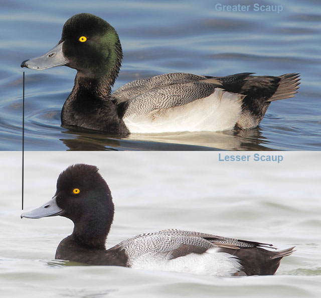 Male scaup comparison